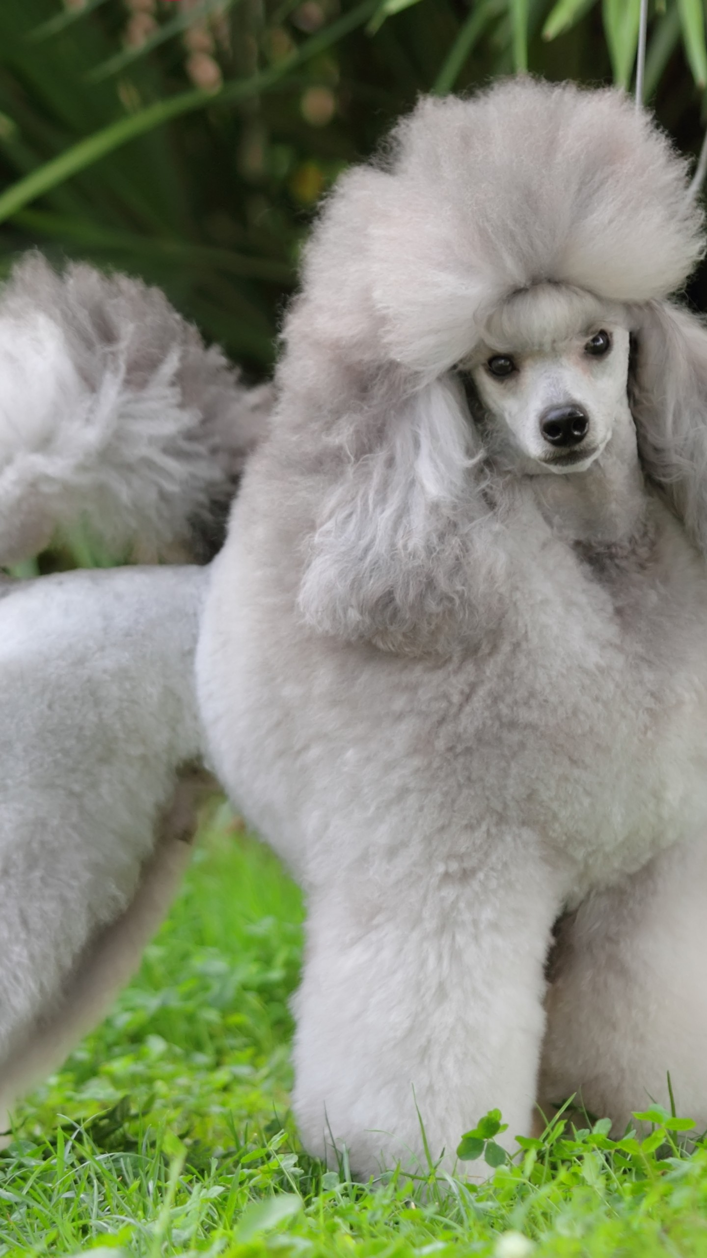 Wallpaper About Girls Wallpaper Poodle Grey Grass Cute Animals Animals 10144