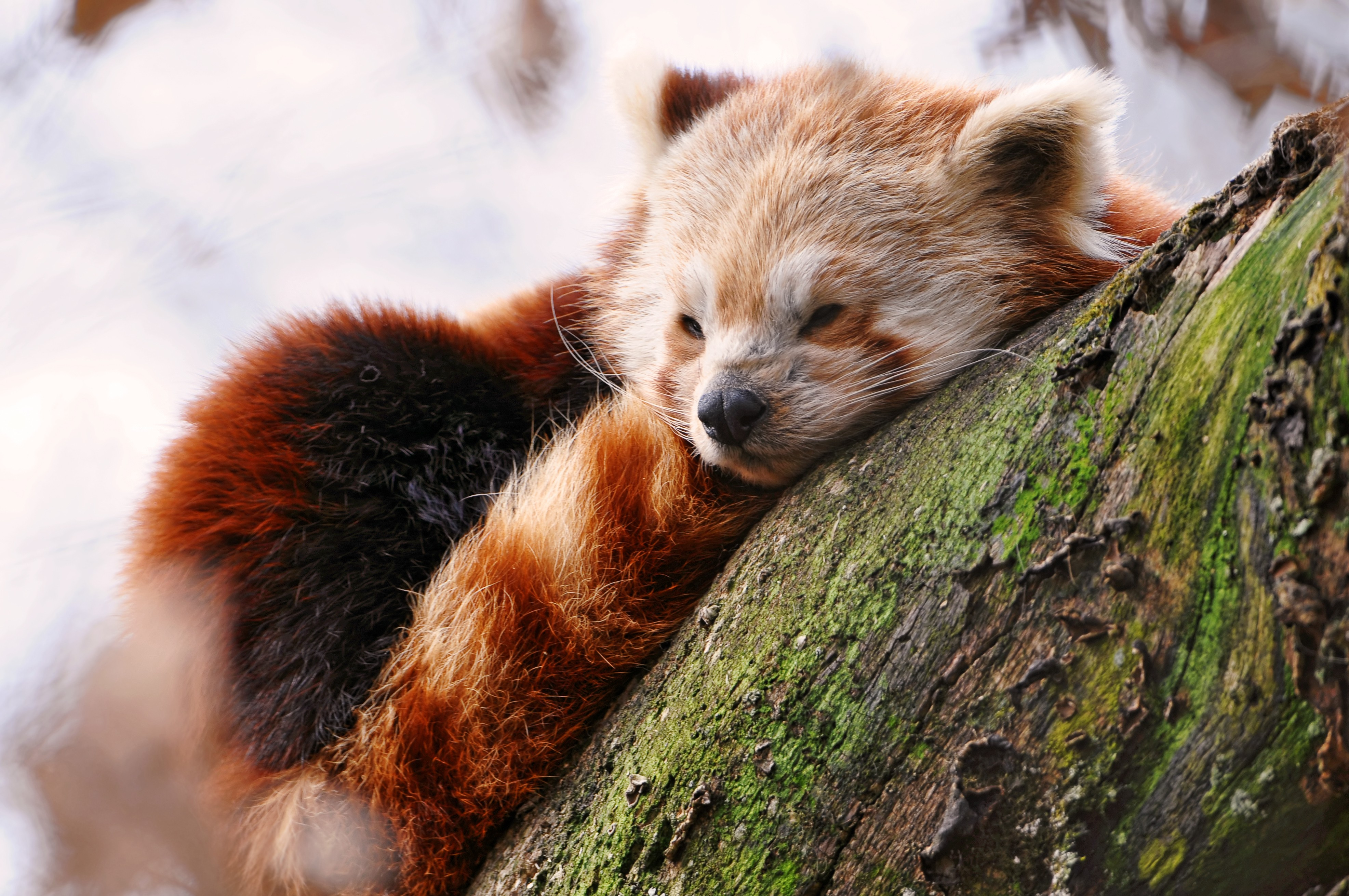 Wallpaper Zombie Girl Wallpaper Red Panda Animals Winter Sleep Zoo Animals 597