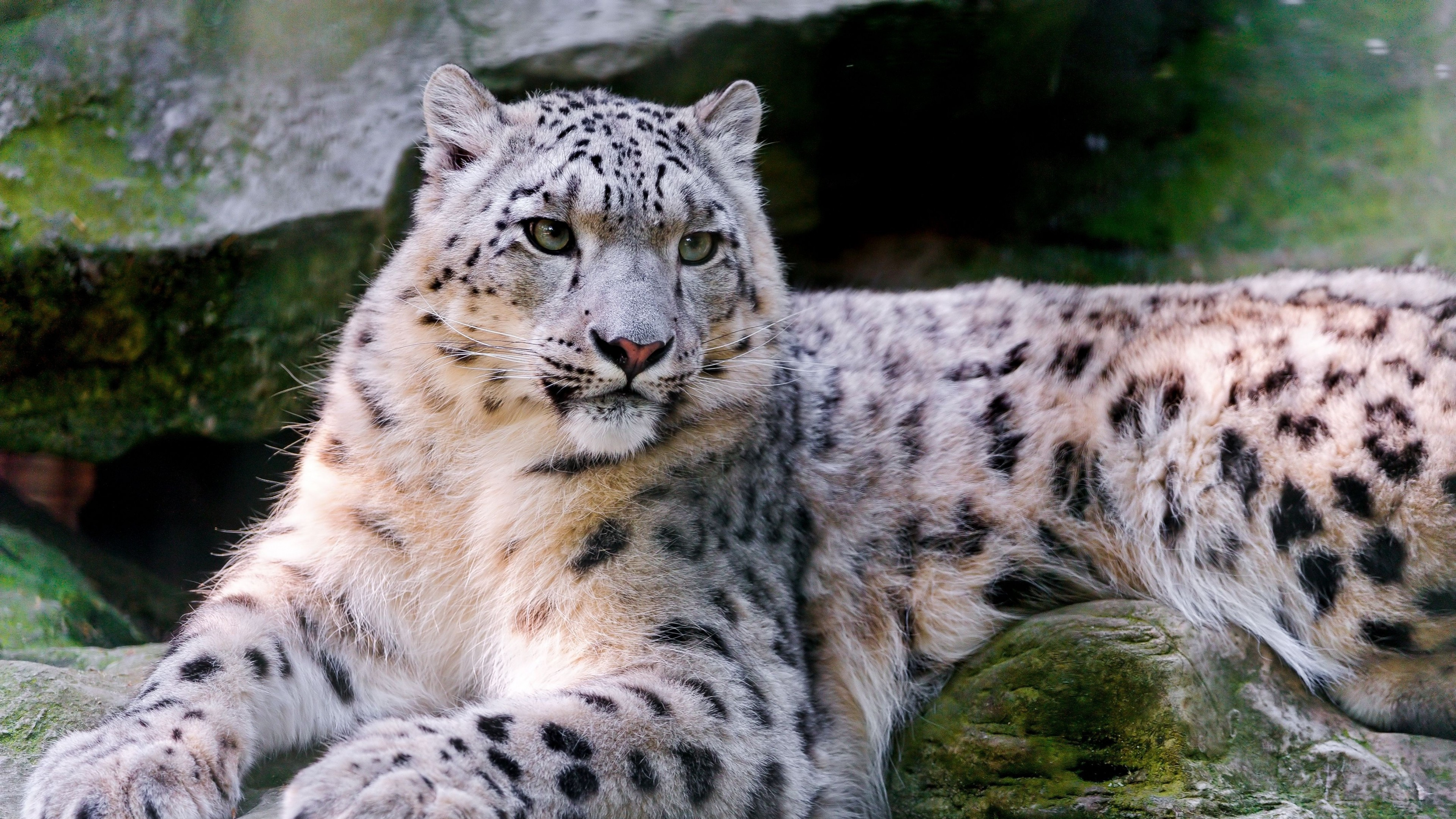 Cute Pets Wallpapers Hd Wallpaper Snow Leopard Wild Nature Eyes Animals 596
