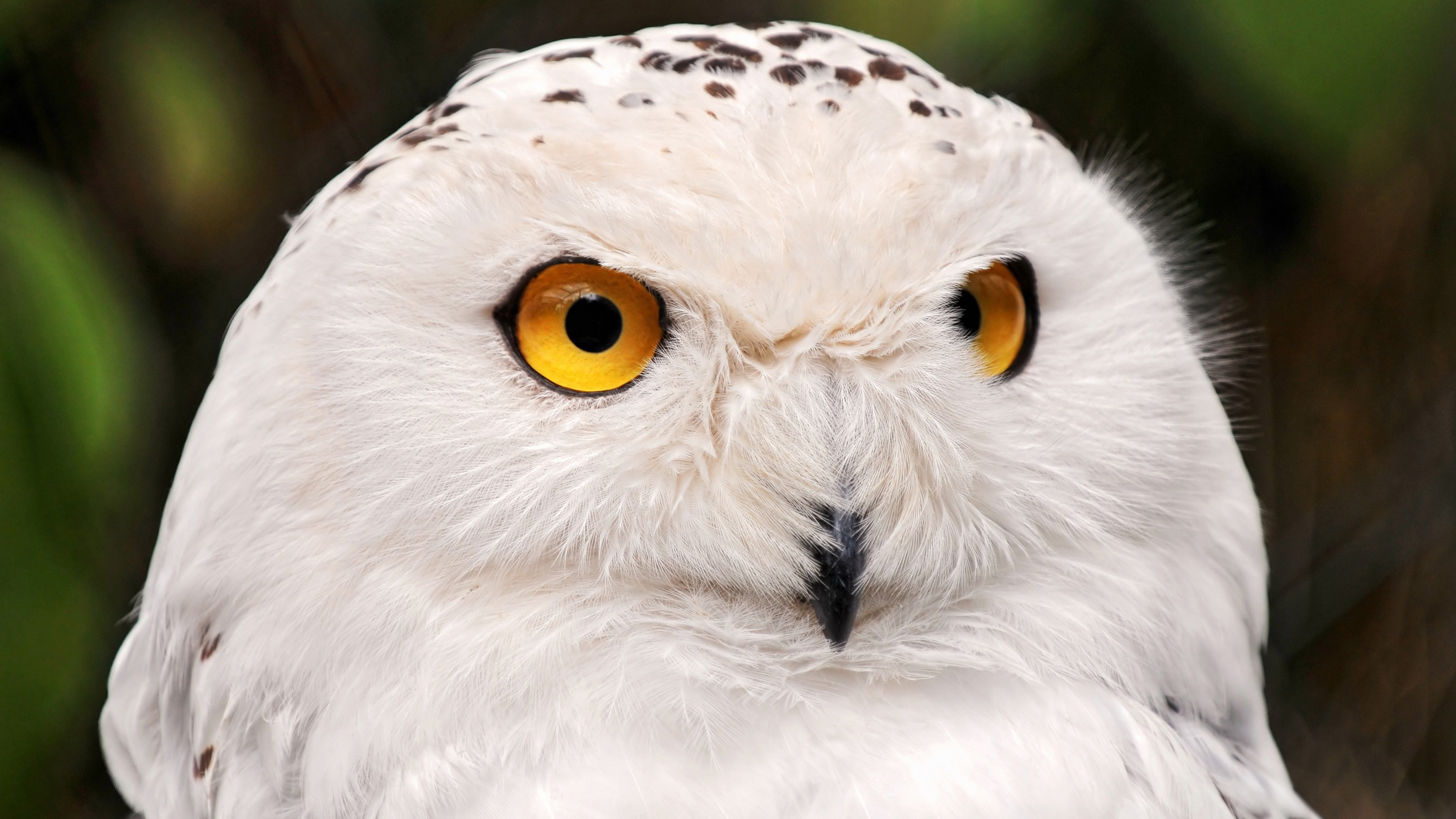3d Cat Wallpapers Download Wallpaper Snowy Owl Yellow Eyes Portrait Wild Nature