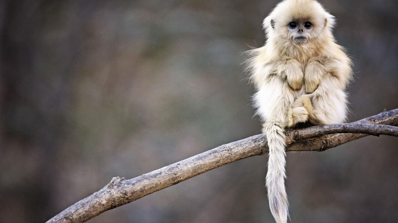 Hd Wallpapers Of Rain With Quotes Wallpaper Snub Nosed Monkey Monkey Roxelana Wolong