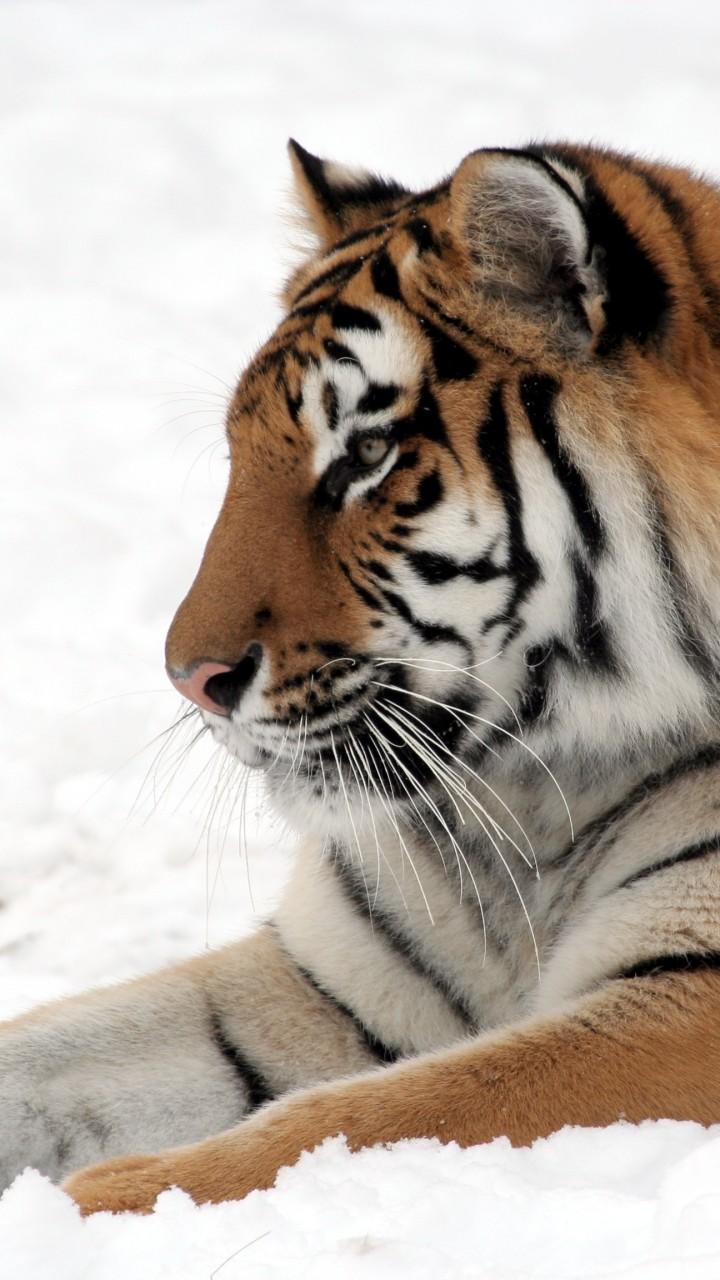 Girls Wallpaper Hd Download Wallpaper Tiger Cute Animals Snow Winter 4k Animals