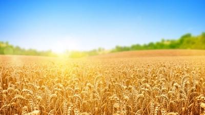 Wallpaper wheat, field, nature, sky, 4k, Nature #15454