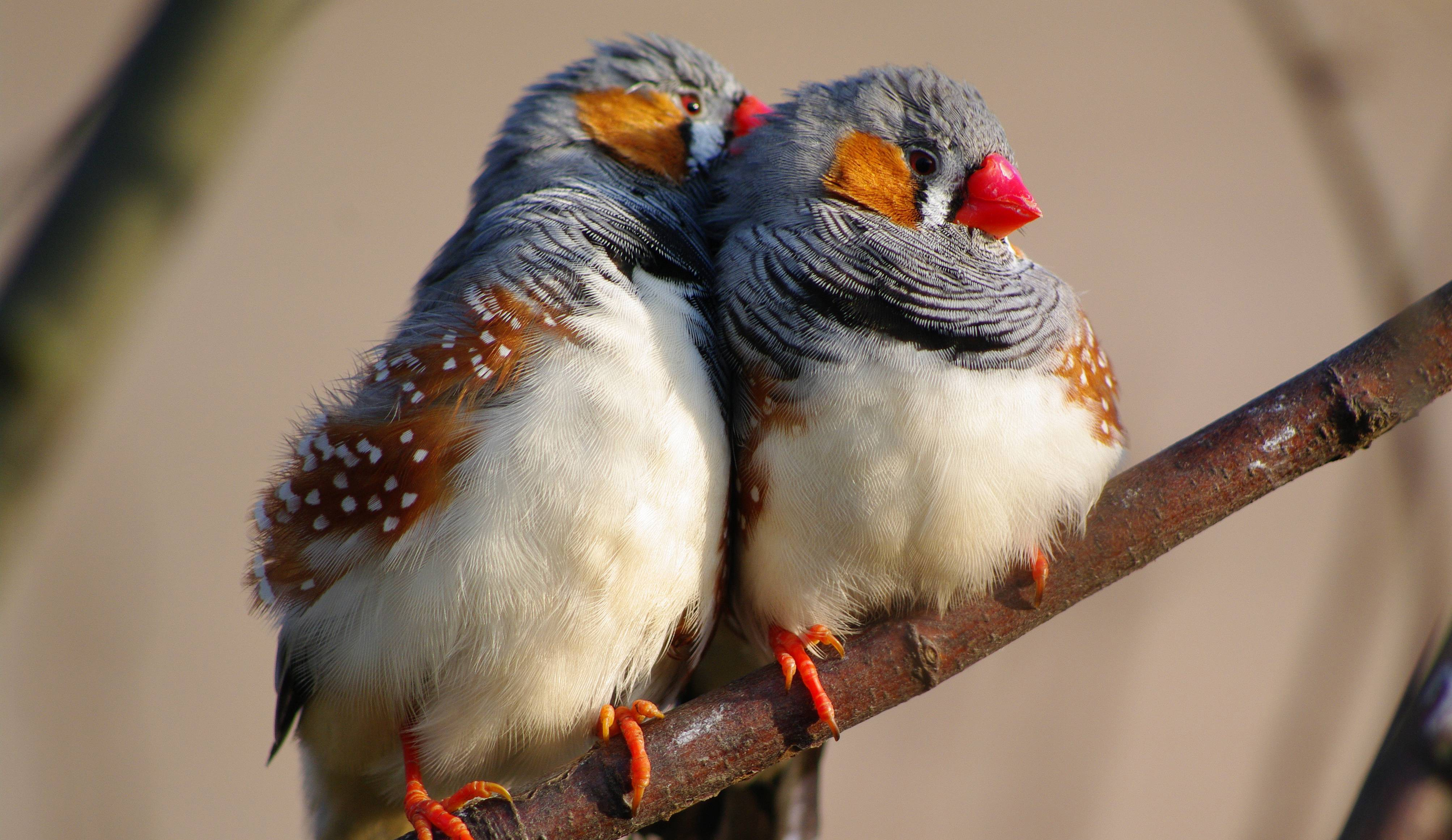 Girls In Burma S Wallpapers Zebra Finch Wallpaper Animals Recent Zebra Finch