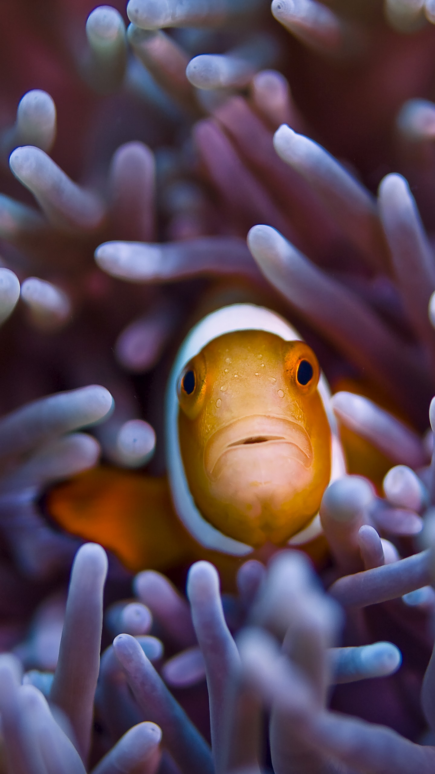 Apple Clownfish Wallpaper Iphone X Обои Рыба клоун 5k 4k Бали дайвинг туризм океан