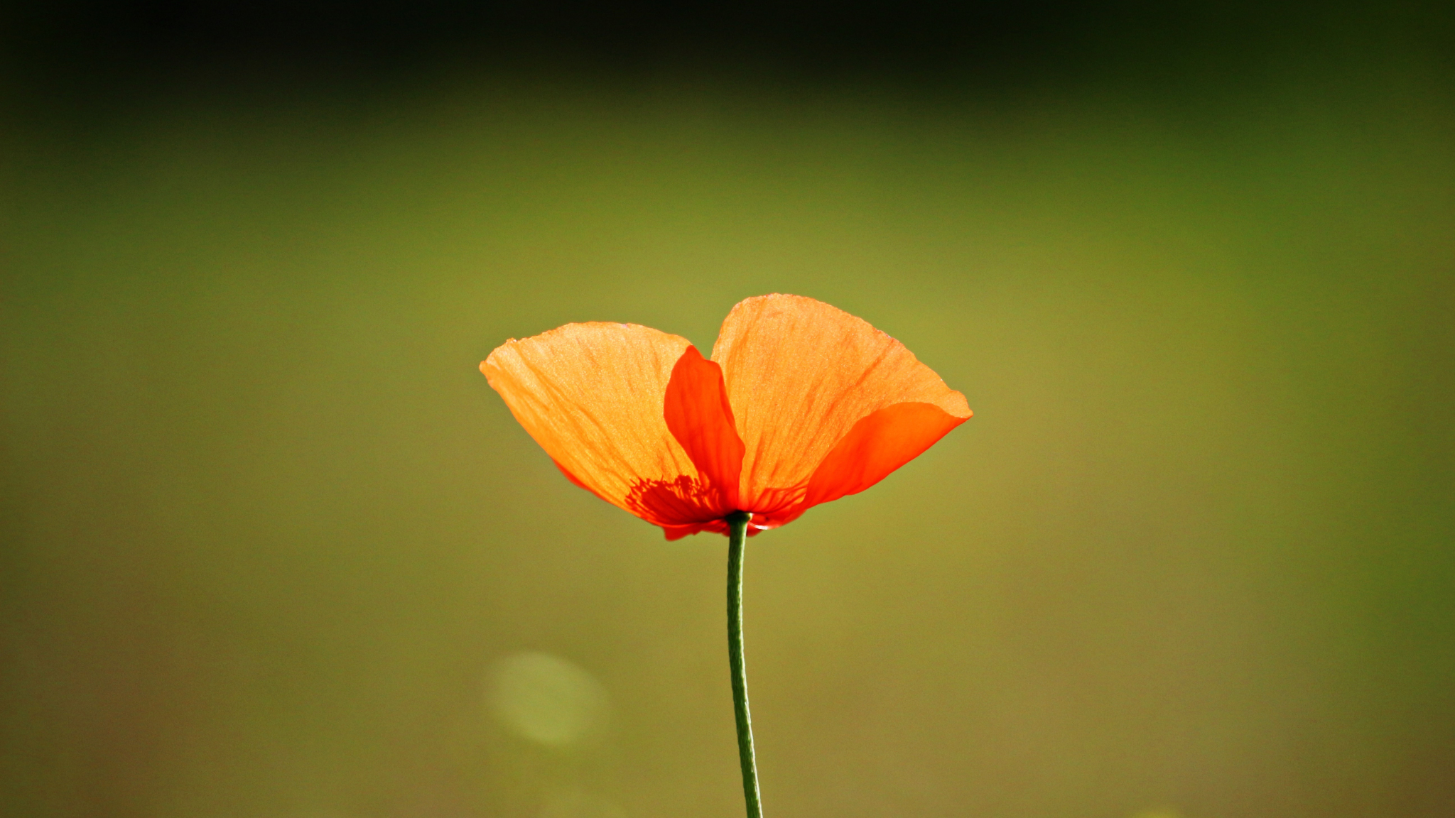 Cute Wallpaper Galaxy S4 Download 2048x1152 Wallpaper Single Flower Orange Poppy