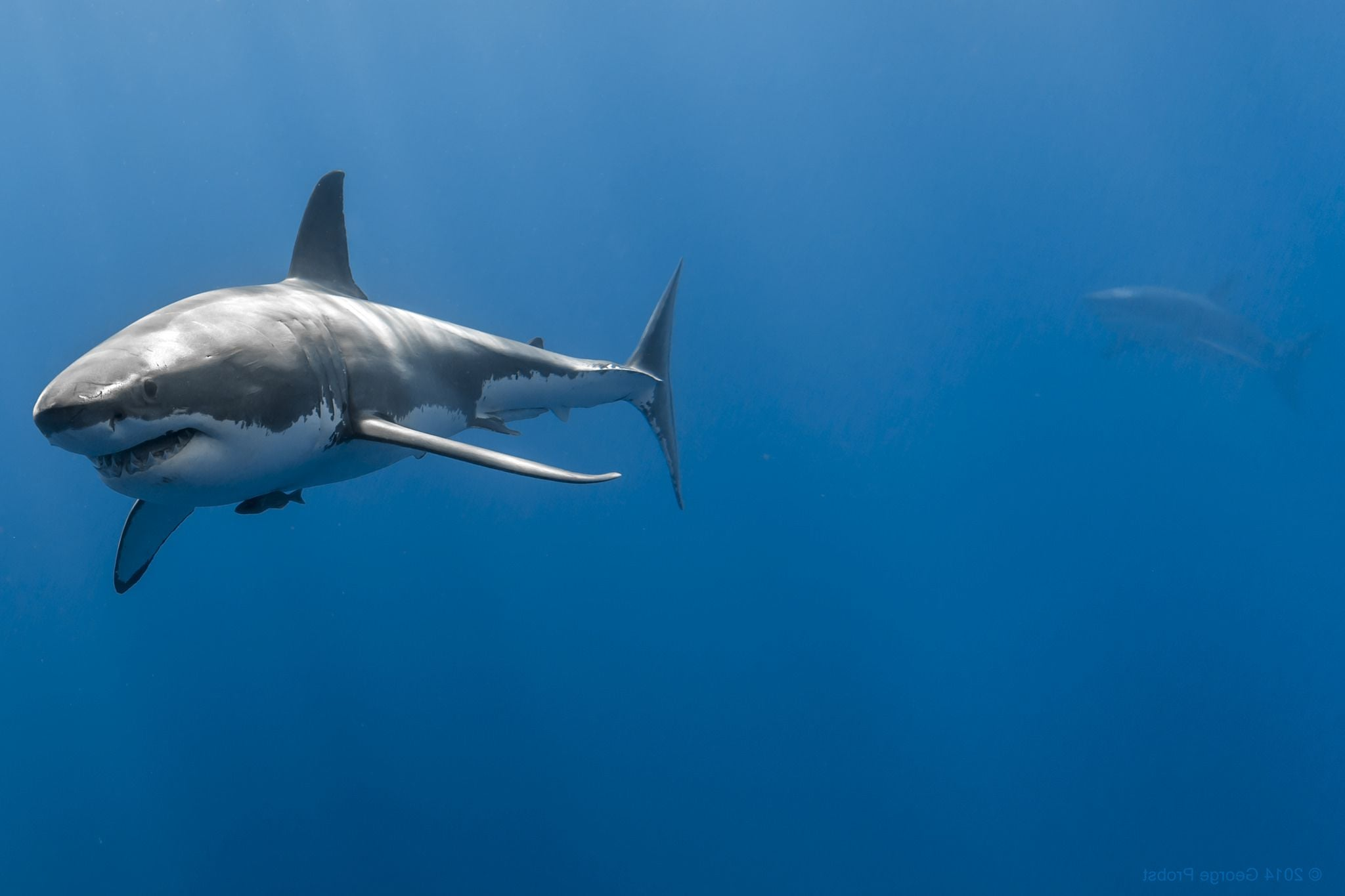 3d Fish Wallpaper Hd Great White Shark Hd Wallpapers High Quality