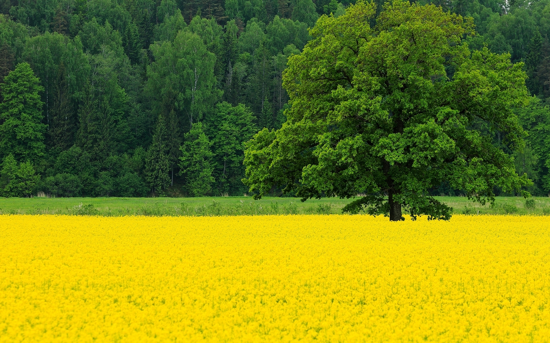 Wild Animals 3d Wallpapers Bright Trees Amp Rape Field Wallpapers Bright Trees Amp Rape