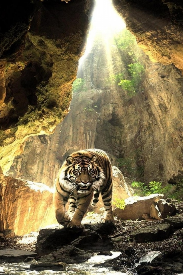 640x960 Hd Wallpapers 640x960 Cave Wild Tiger Water Light Iphone 4 Wallpaper