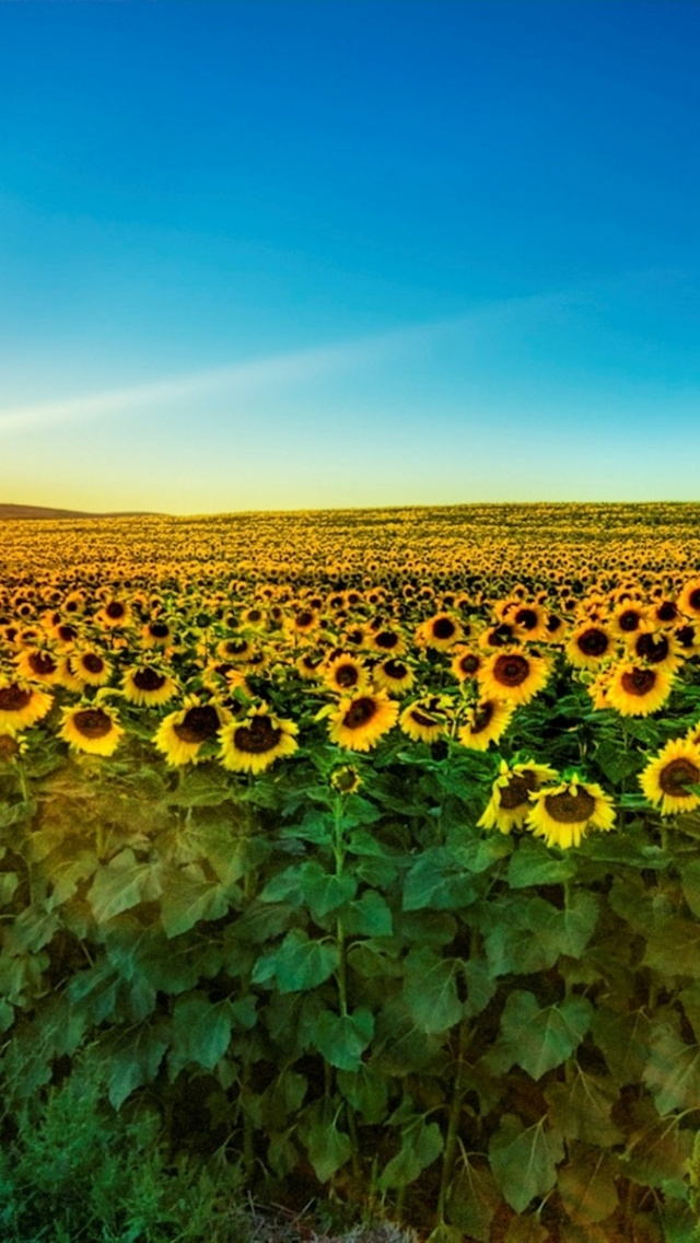 Sunflower Iphone Wallpaper 640x1136 Fascinating Sunflower Field Iphone 5 Wallpaper