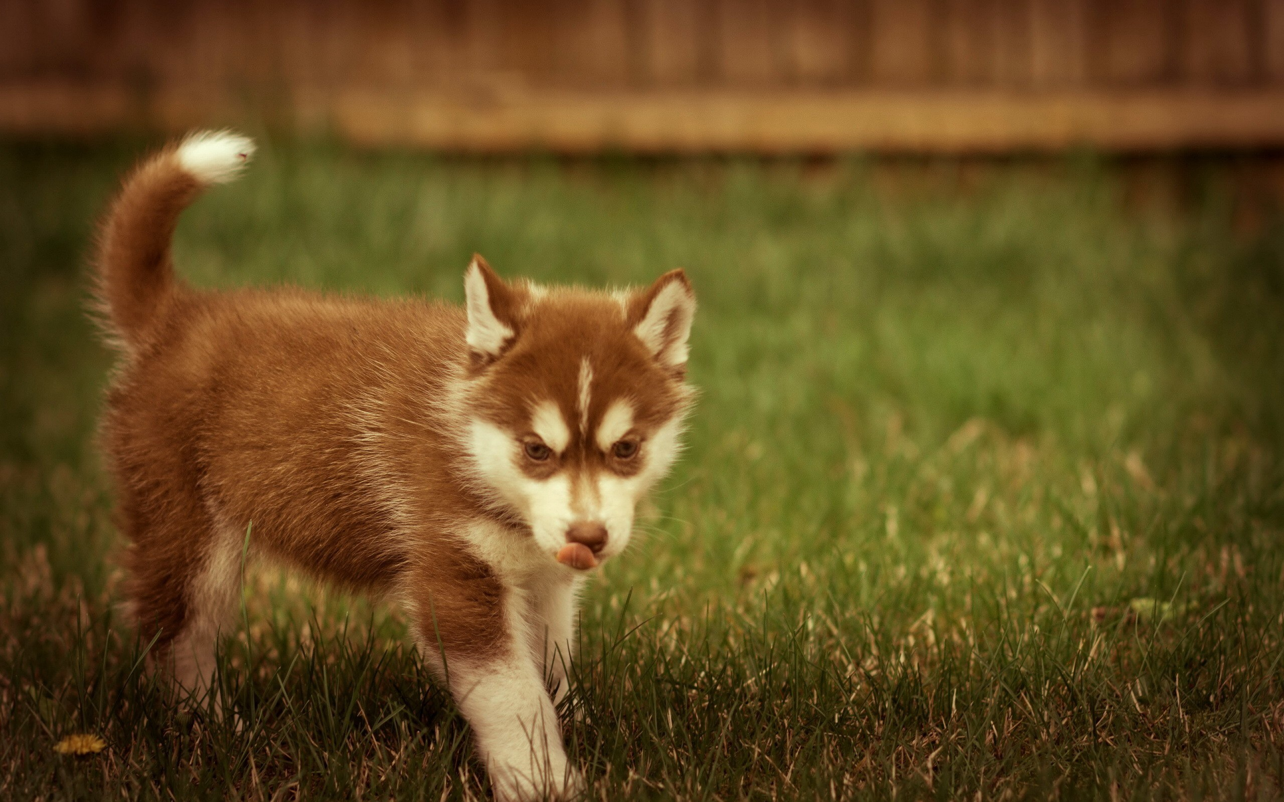 Cute Male Baby Wallpapers Ginger Husky Wallpapers Ginger Husky Stock Photos