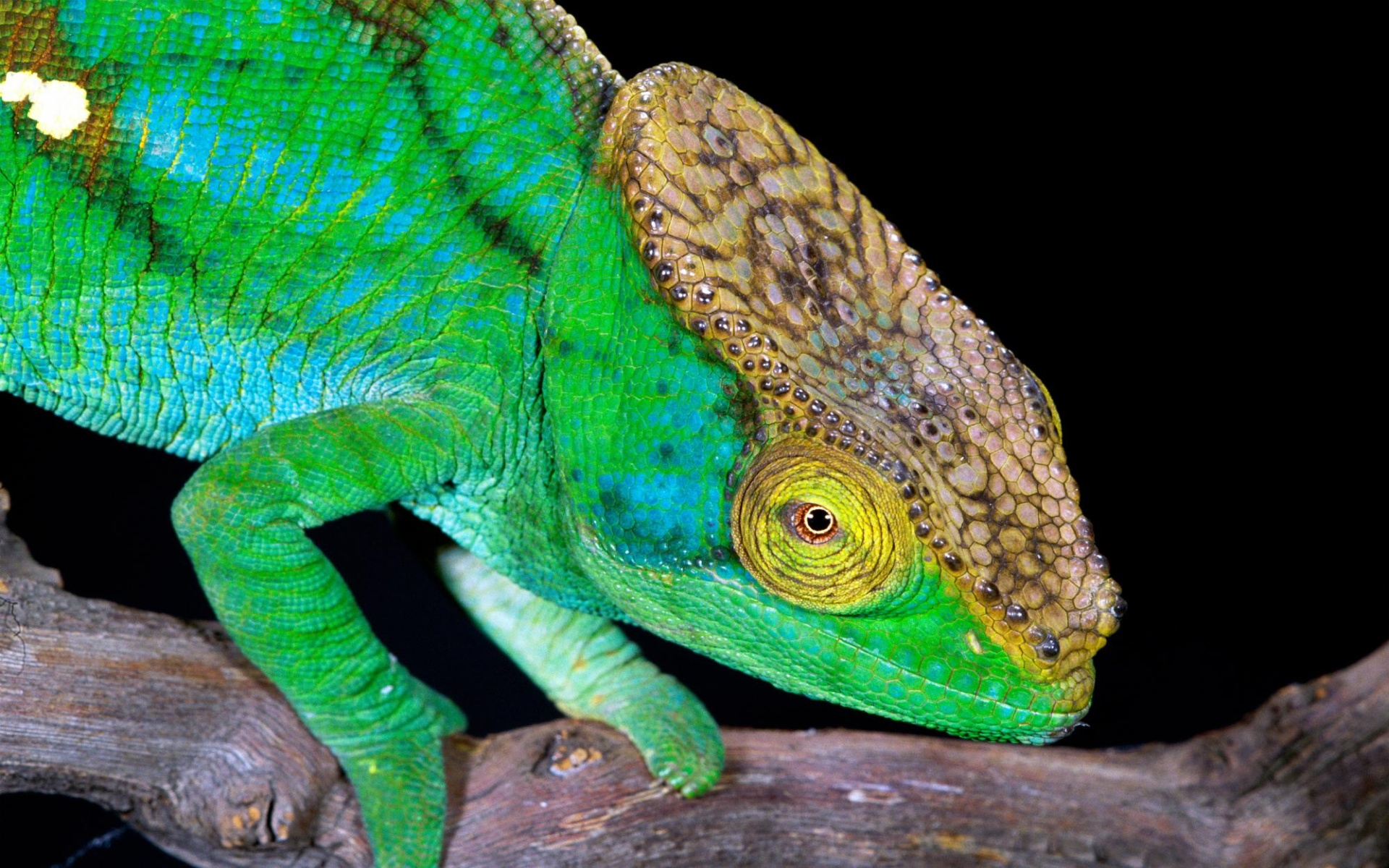 Where The Wild Things Are Wallpaper Hd Green Chameleon Wallpapers Green Chameleon Stock Photos