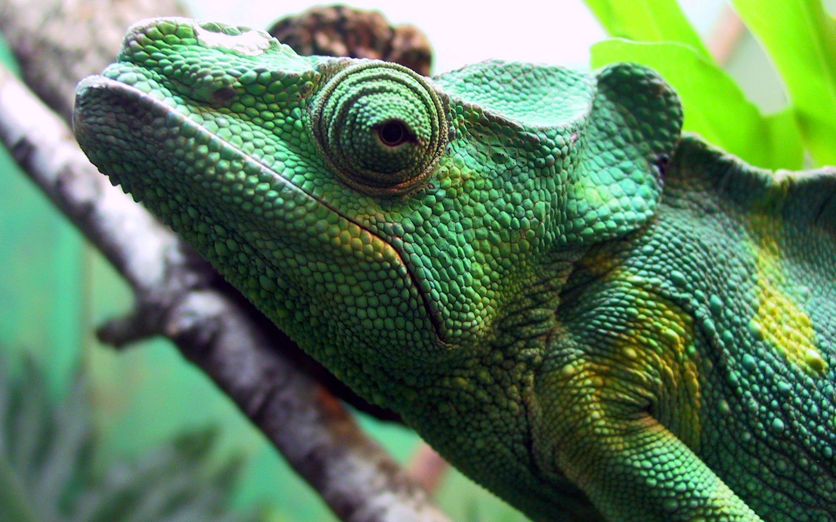 3d Frog Wallpaper Green Iguana Wallpapers Green Iguana Stock Photos