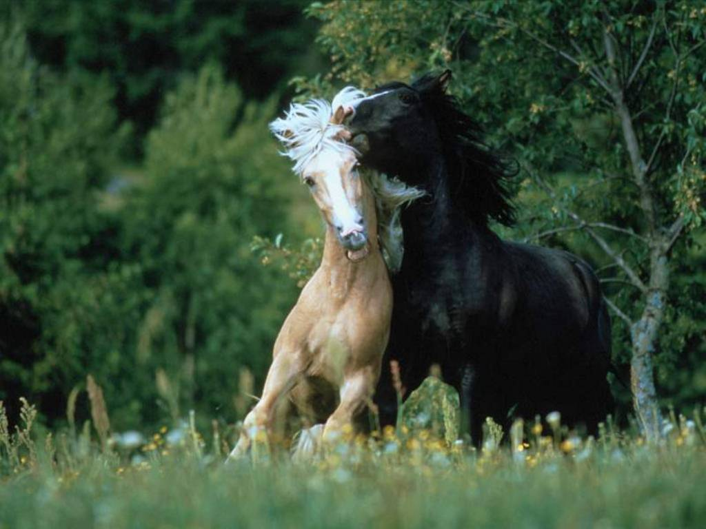 3d Wallpapers Wild Animals Horses Playing Wallpapers Horses Playing Stock Photos