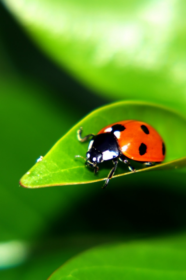 Iphone X Stock Wallpaper Download 640x960 Ladybug On A Leaf Desktop Pc And Mac Wallpaper