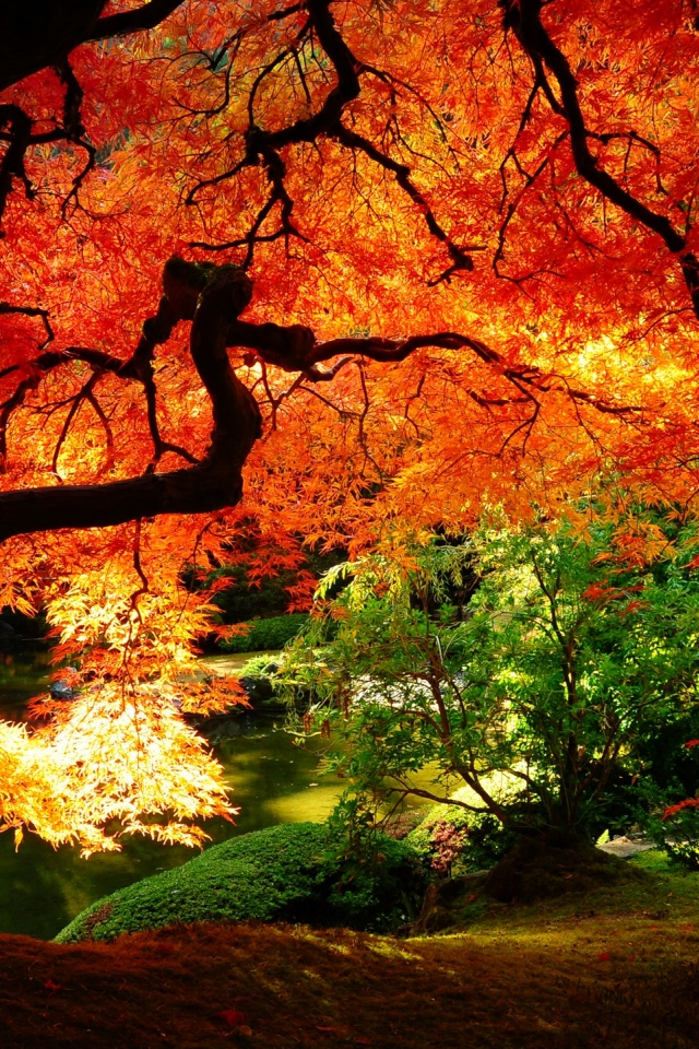 Vermont Fall Foliage Wallpaper 640x960 Maple In Autumn Iphone 4 Wallpaper