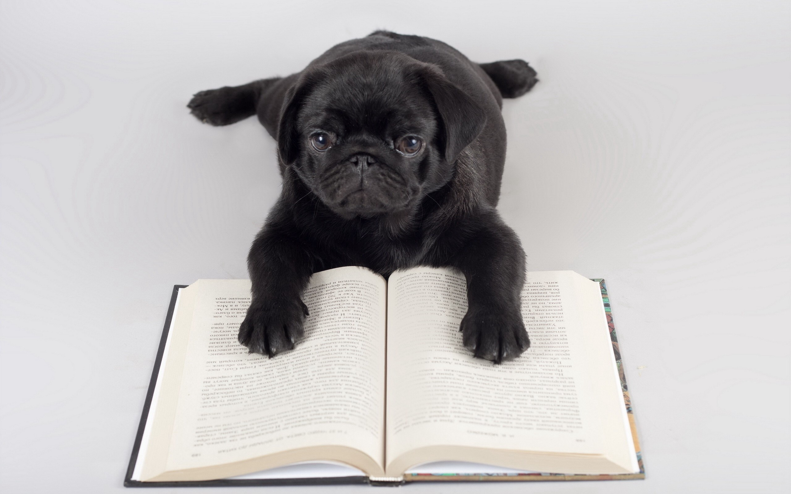 Cute Wallpapers Of Dogs And Puppies Pug Reading Wallpapers Pug Reading Stock Photos