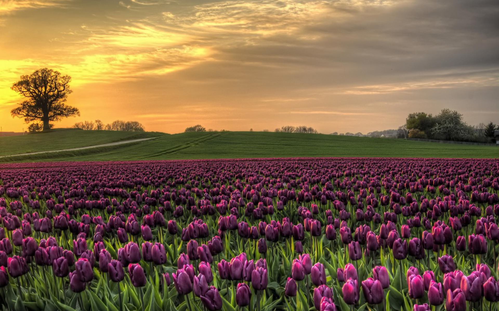 Oasis Wallpaper Iphone 5 Purple Tulips Field Wallpapers Purple Tulips Field Stock
