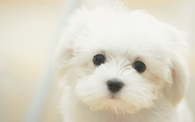 Cute Maltese wallpapers | Cute Maltese stock photos