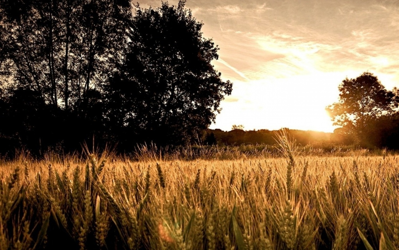 Amazing 3d Wallpapers For Mobile Wheat Field Dark Trees Amp Sun Wallpapers Wheat Field Dark