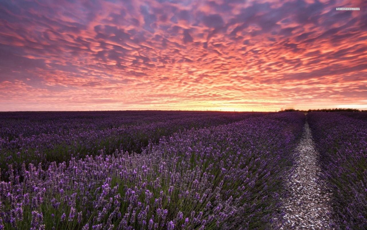 Sunflower Iphone Wallpaper Great Lavender Field Pink Sky Wallpapers Great Lavender