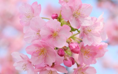 Pink Cherry Blossom wallpapers | Pink Cherry Blossom stock photos