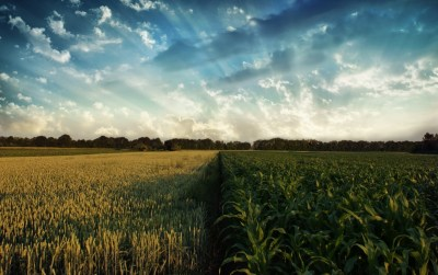 Two Lovely Corn Fields wallpapers | Two Lovely Corn Fields stock photos