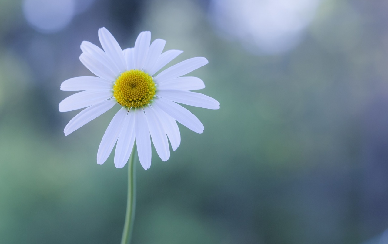 Galaxy S3 Wallpaper Hd White Chamomile Wallpapers White Chamomile Stock Photos