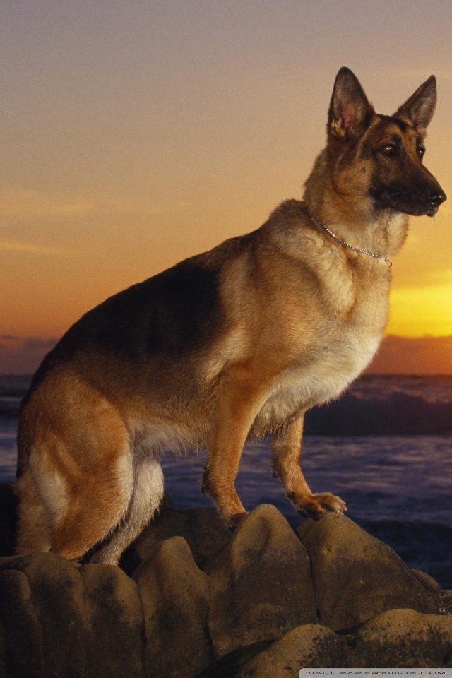 Iphone Wallpaper Reddit A Day At The Beach German Shepherd 4k Hd Desktop Wallpaper