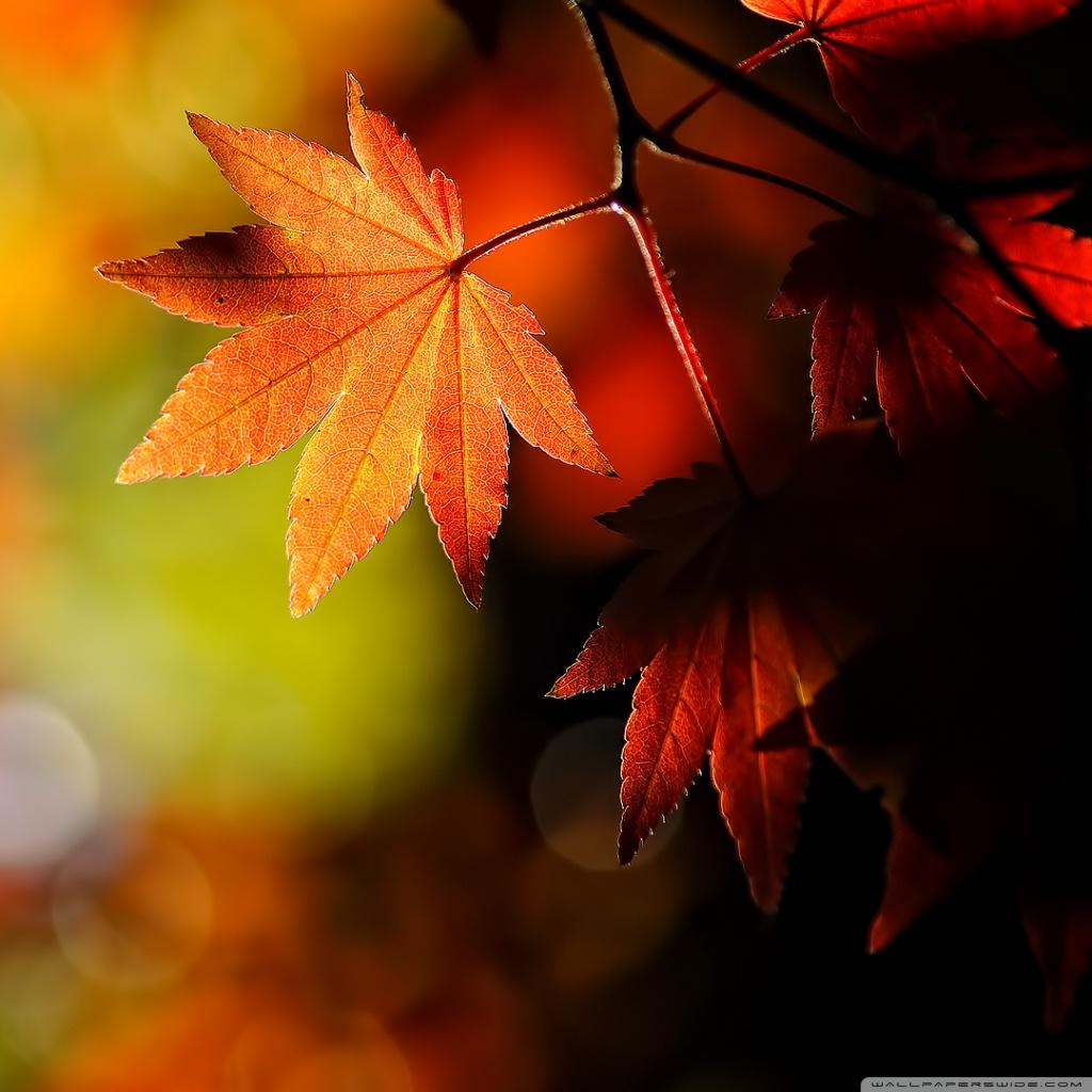 Fall Leaves Ipad Wallpaper Autumn Maple Leaves 4k Hd Desktop Wallpaper For 4k Ultra