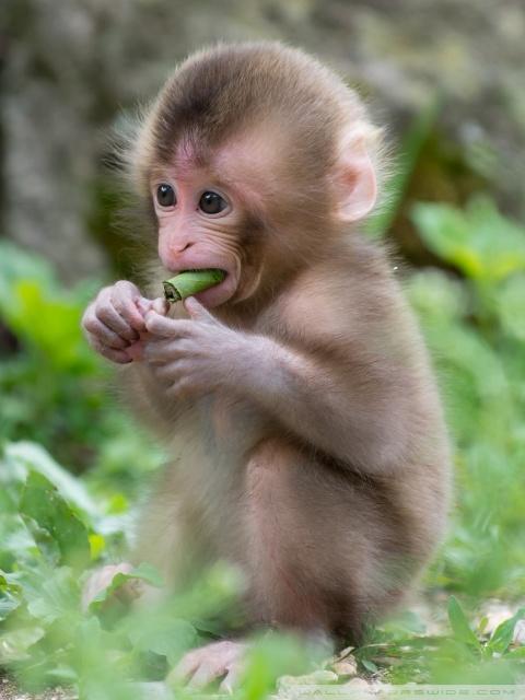 Cute Baby Wallpaper Hd For Mobile Baby Macaque Monkey 4k Hd Desktop Wallpaper For 4k Ultra