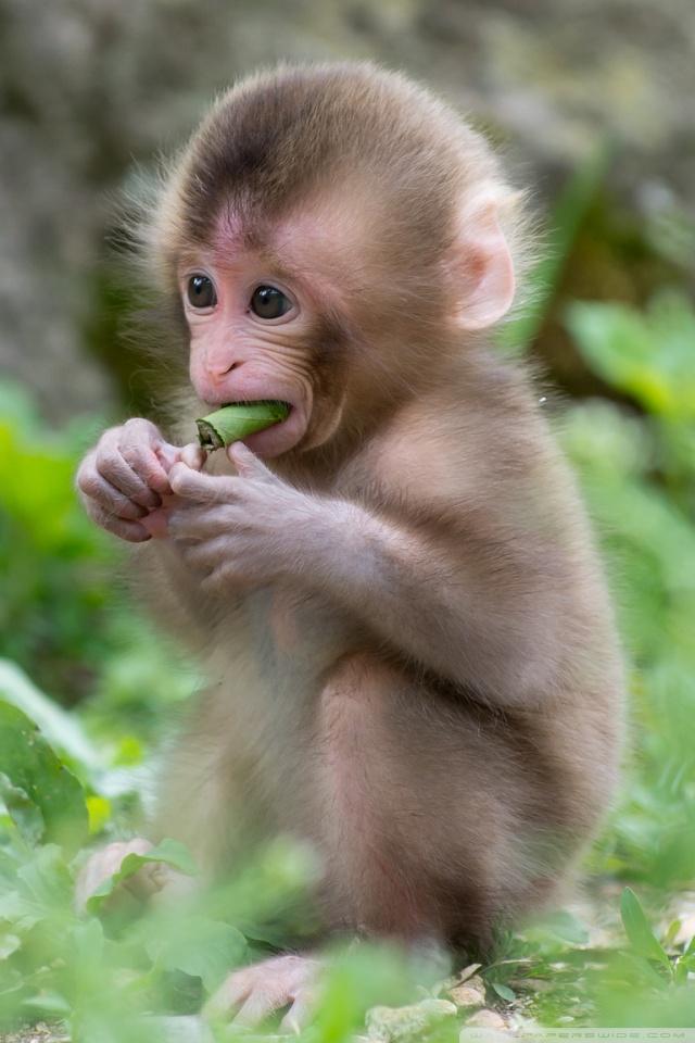 Cute Pet Animals Wallpapers Baby Macaque Monkey 4k Hd Desktop Wallpaper For 4k Ultra