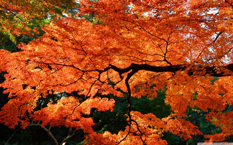 Beautiful Fall Wallpaper For Mobile Beautiful Japanese Maple Tree 4k Hd Desktop Wallpaper For