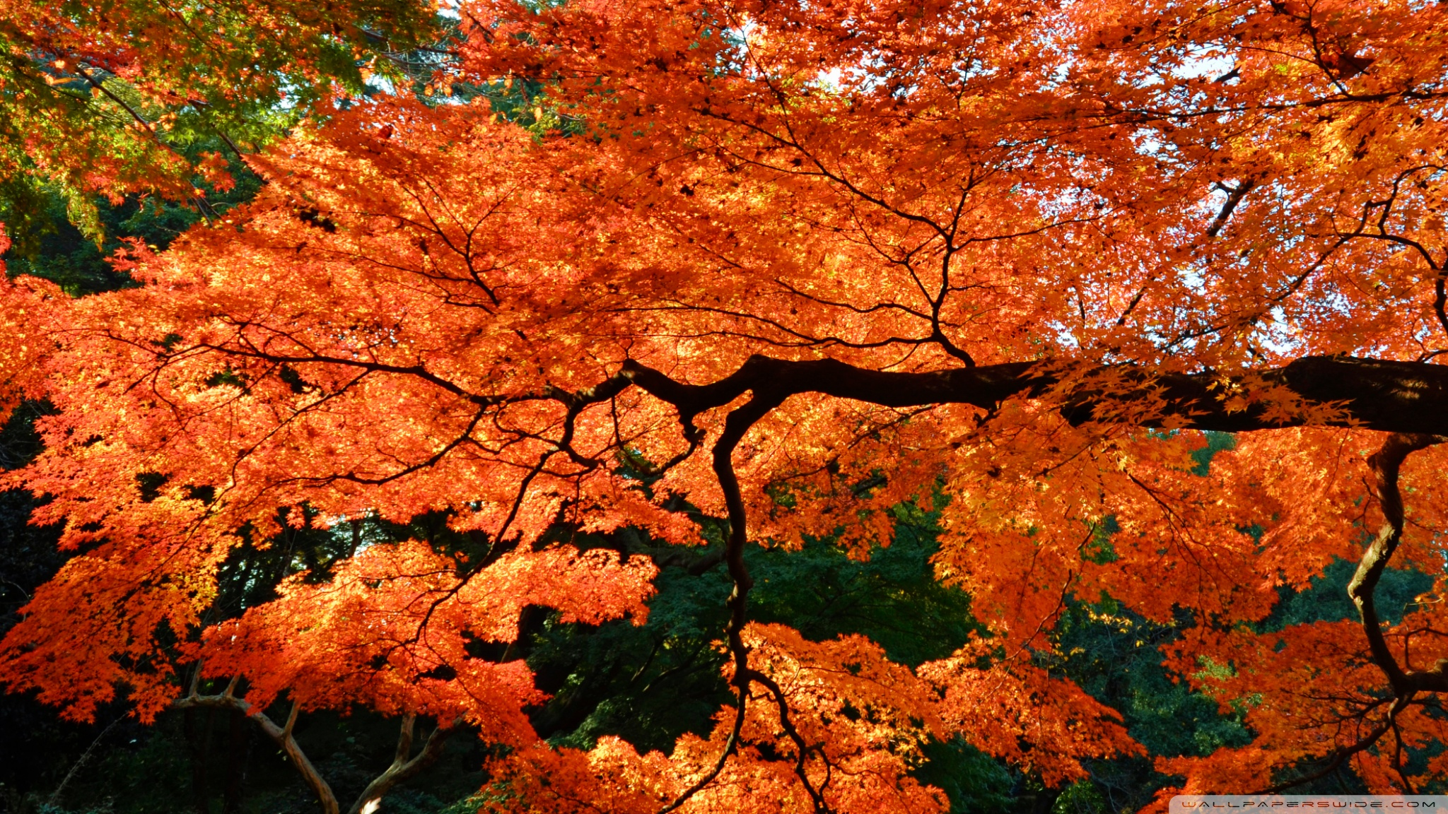 Pc Fall Wallpapers Beautiful Japanese Maple Tree 4k Hd Desktop Wallpaper For