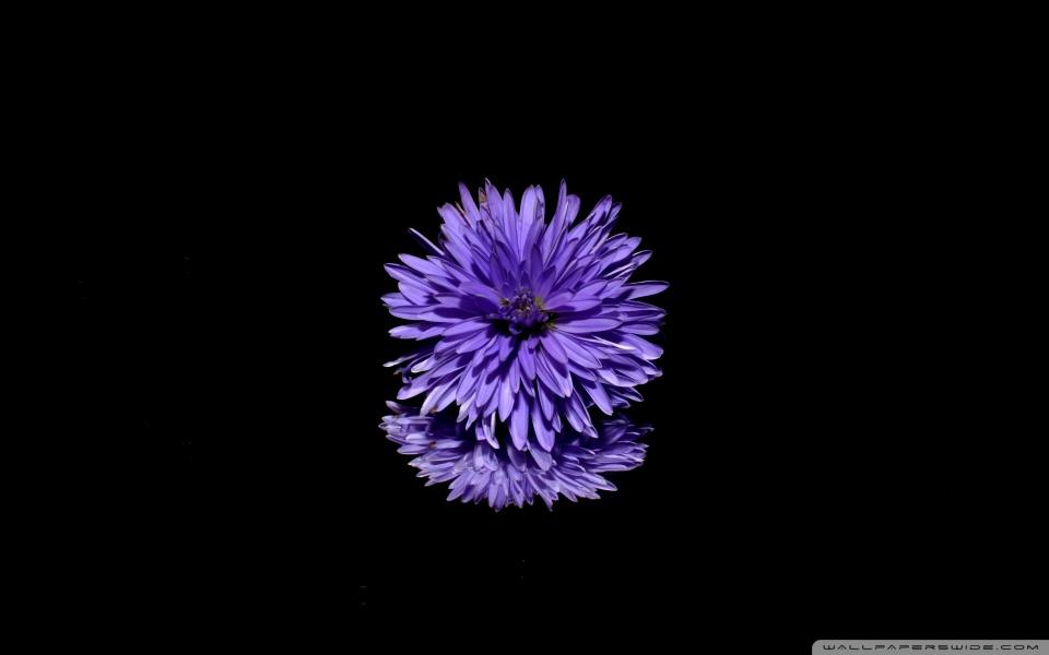 Blue Flower, Black Background ❤ 4K HD Desktop Wallpaper for 4K