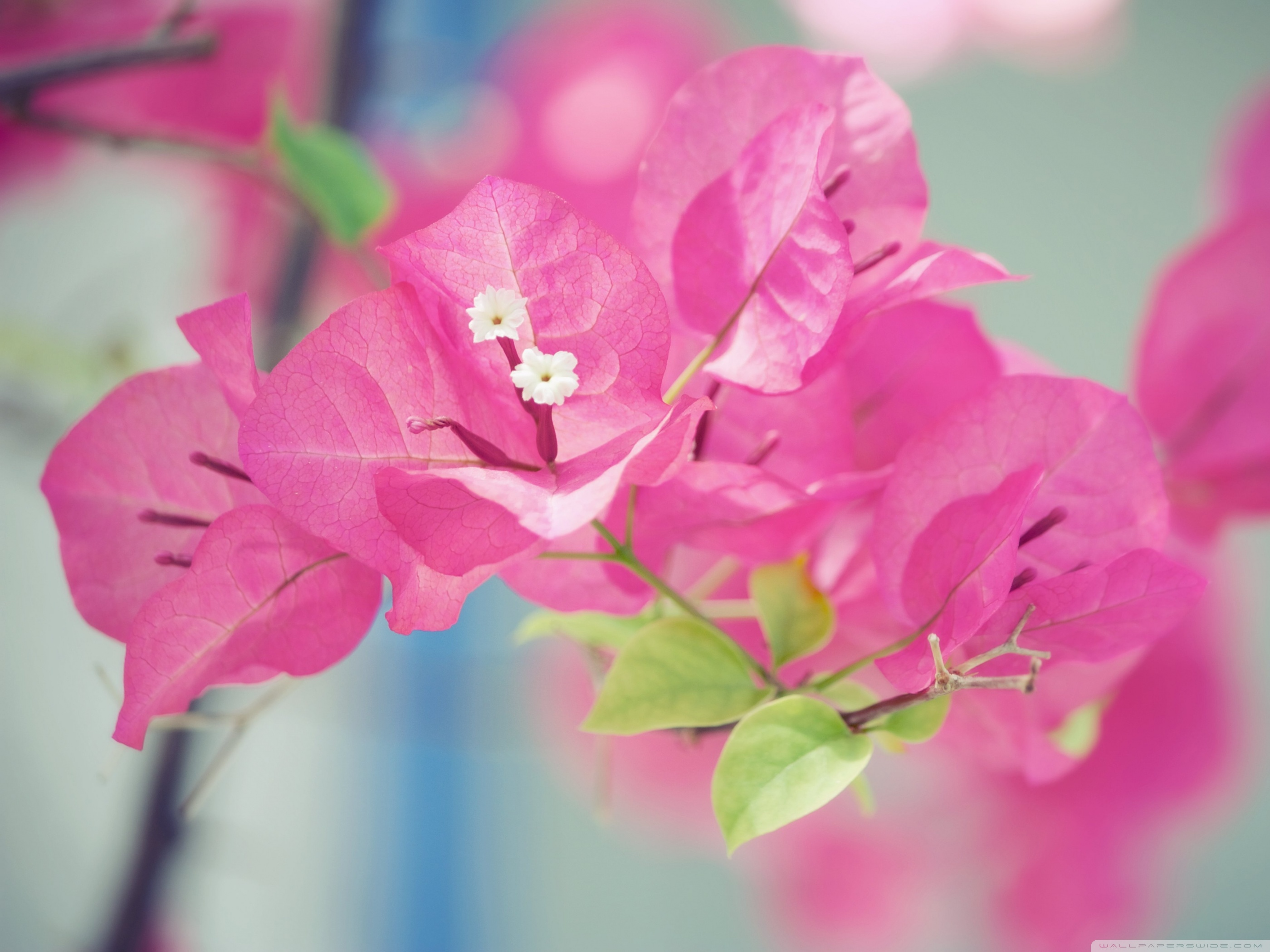 Bougainvillea Wallpaper Bougainvillea Macro 4k Hd Desktop Wallpaper For 4k Ultra Hd Tv