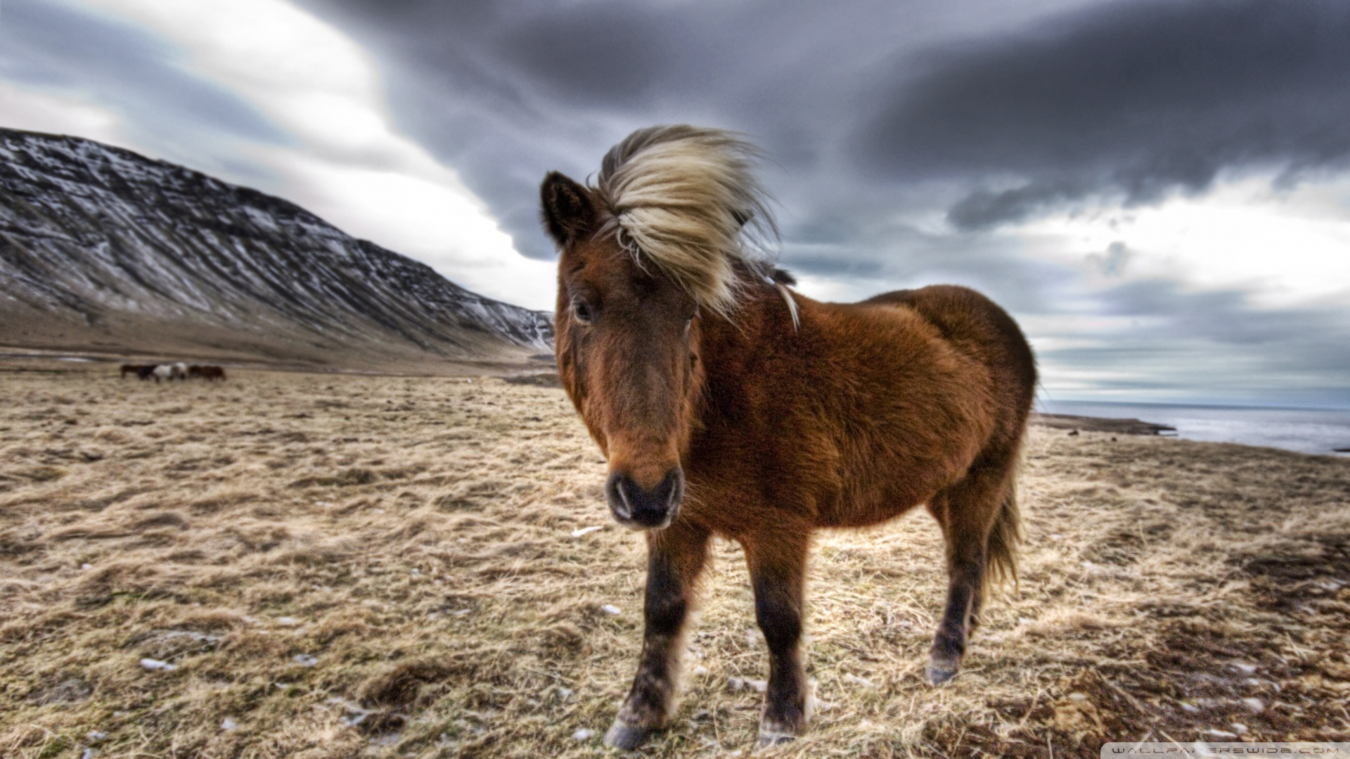 Hd Wallpapers For Mobile Free Download 480x800 Brown Horse In Iceland 4k Hd Desktop Wallpaper For 4k