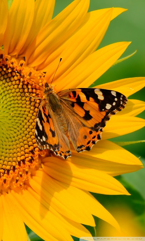 Iphone X Wallpaper Reddit Butterfly On Sunflower 4k Hd Desktop Wallpaper For 4k