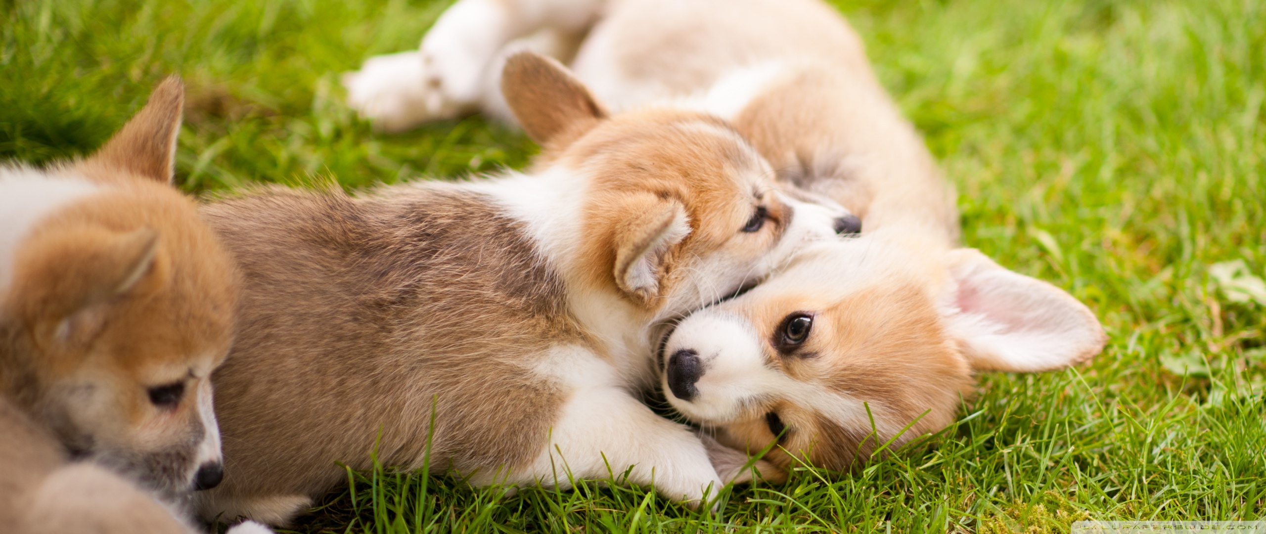 Very Cute Wallpapers For Mobile 240x320 Corgi Puppies 4k Hd Desktop Wallpaper For 4k Ultra Hd Tv