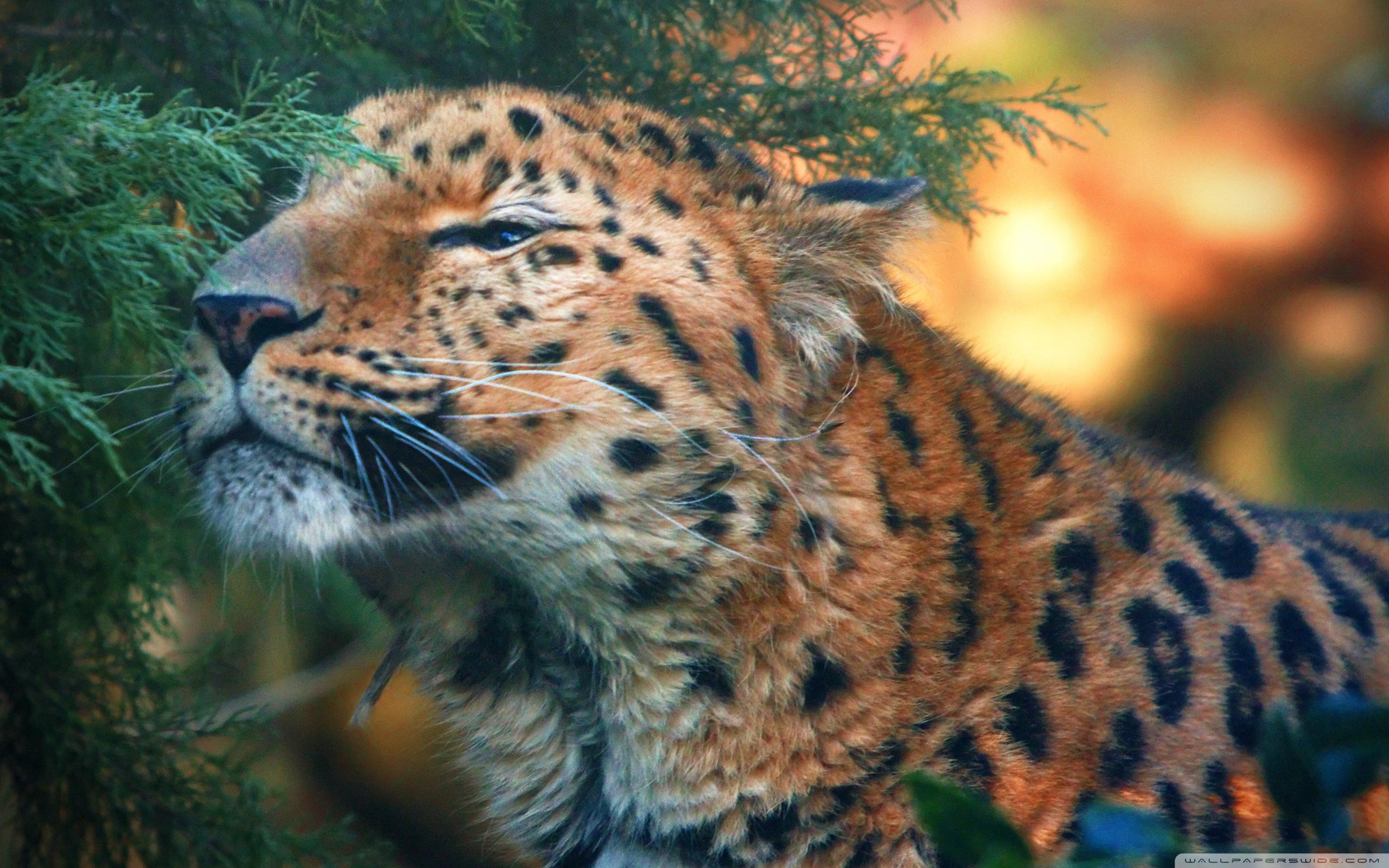 Download Wallpaper Cute Cat Cute Amur Leopard 4k Hd Desktop Wallpaper For 4k Ultra Hd