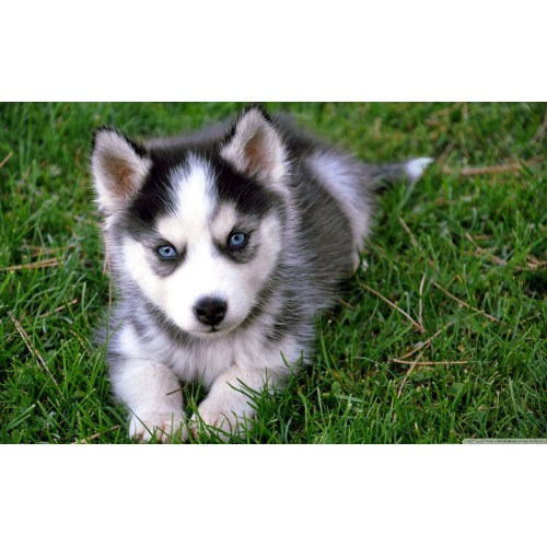 Medium Crop Of Cute Husky Puppies