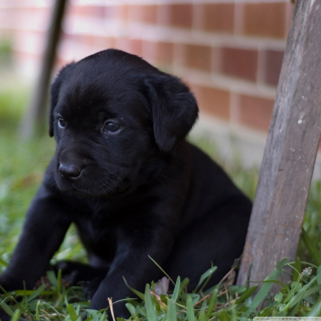 Cute Puppy Pics Wallpaper Cute Labrador Puppies 4k Hd Desktop Wallpaper For 4k Ultra
