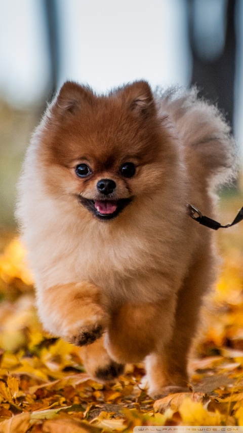 Desktop Wallpaper Fall Foliage Cute Pomeranian Puppy Enjoying A Fall Day 4k Hd Desktop