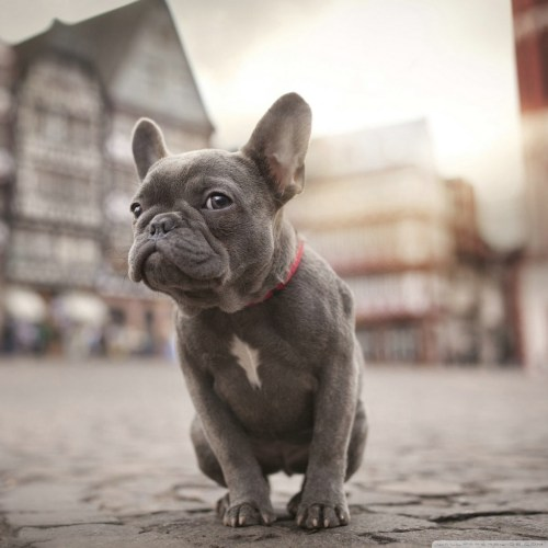 Medium Of Cute French Bulldog