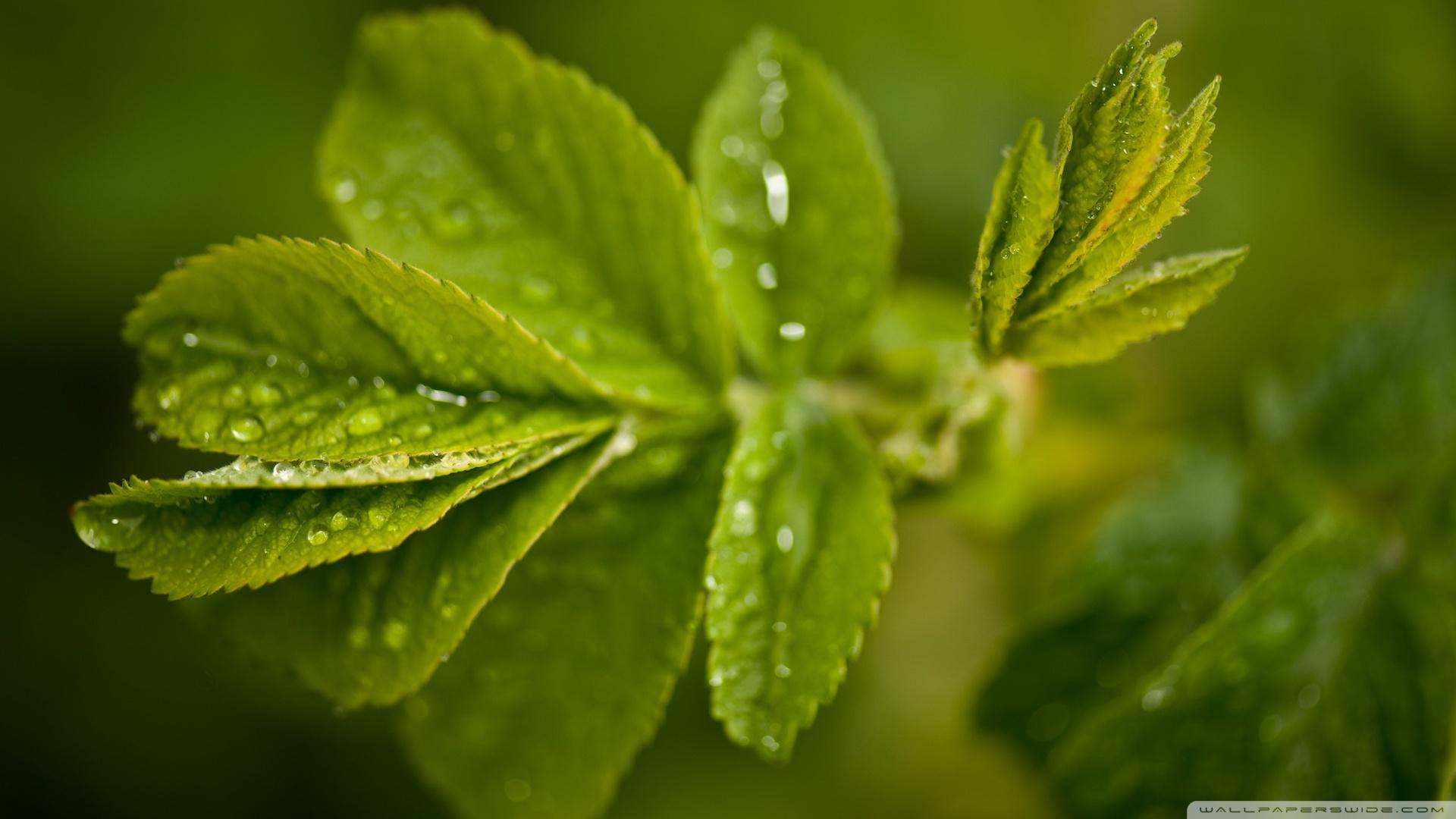 Ganesh 3d Name Wallpaper Fresh Green Leaves And Water Drops 4k Hd Desktop Wallpaper