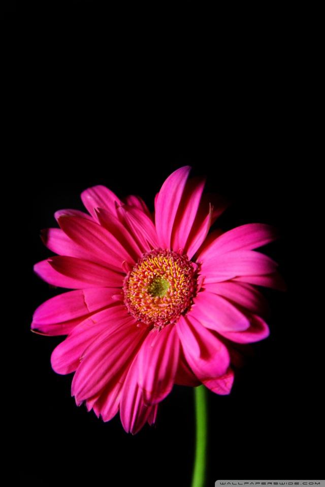 Pink Cherry Blossom Wallpaper Hd Hot Pink Gerber Daisy 4k Hd Desktop Wallpaper For 4k Ultra