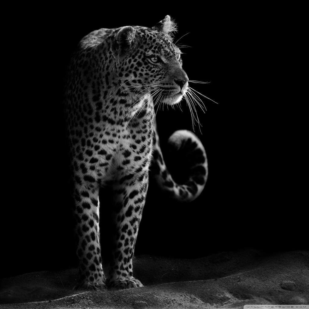Cheetah Wallpaper 3d Leopard Black Amp White 4k Hd Desktop Wallpaper For 4k Ultra