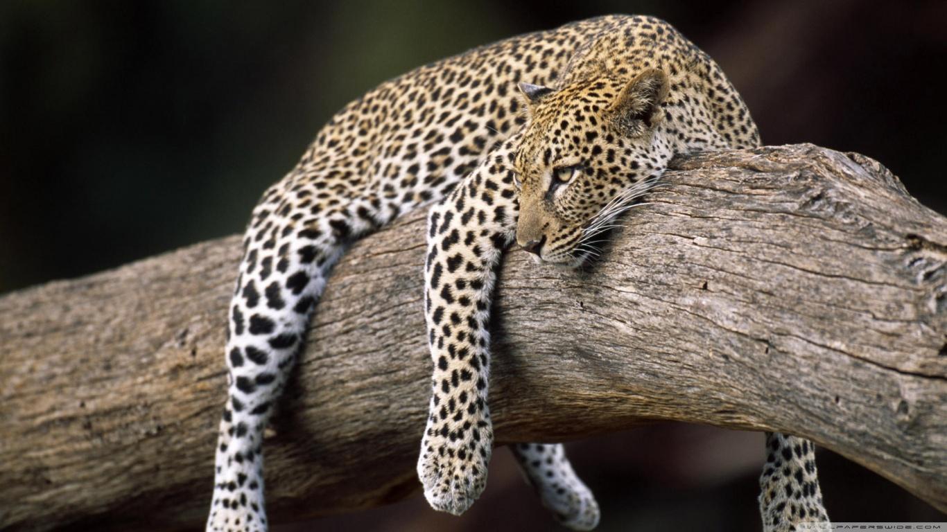 Cheetah Wallpaper Hd Leopard In Tree 4k Hd Desktop Wallpaper For 4k Ultra Hd Tv