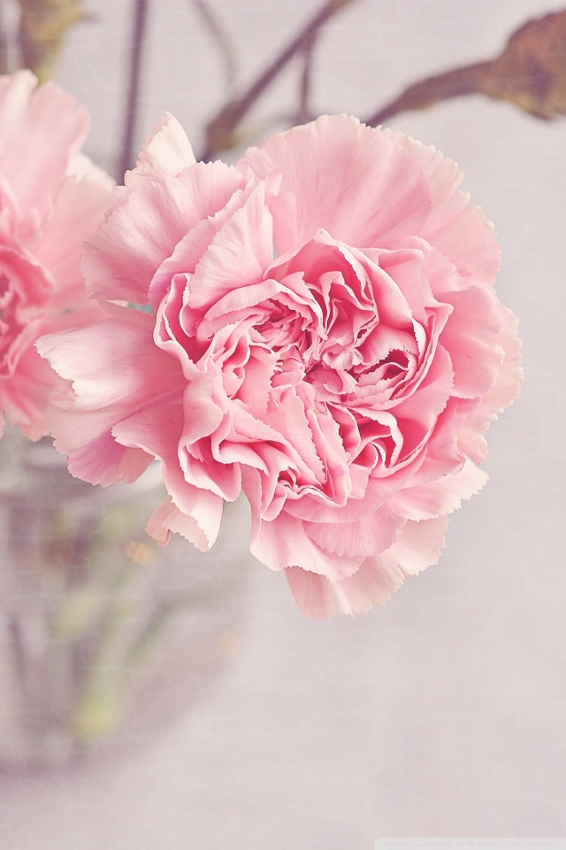Peonies Wallpaper Iphone 6 Light Pink Carnations Flowers In A Vase 4k Hd Desktop