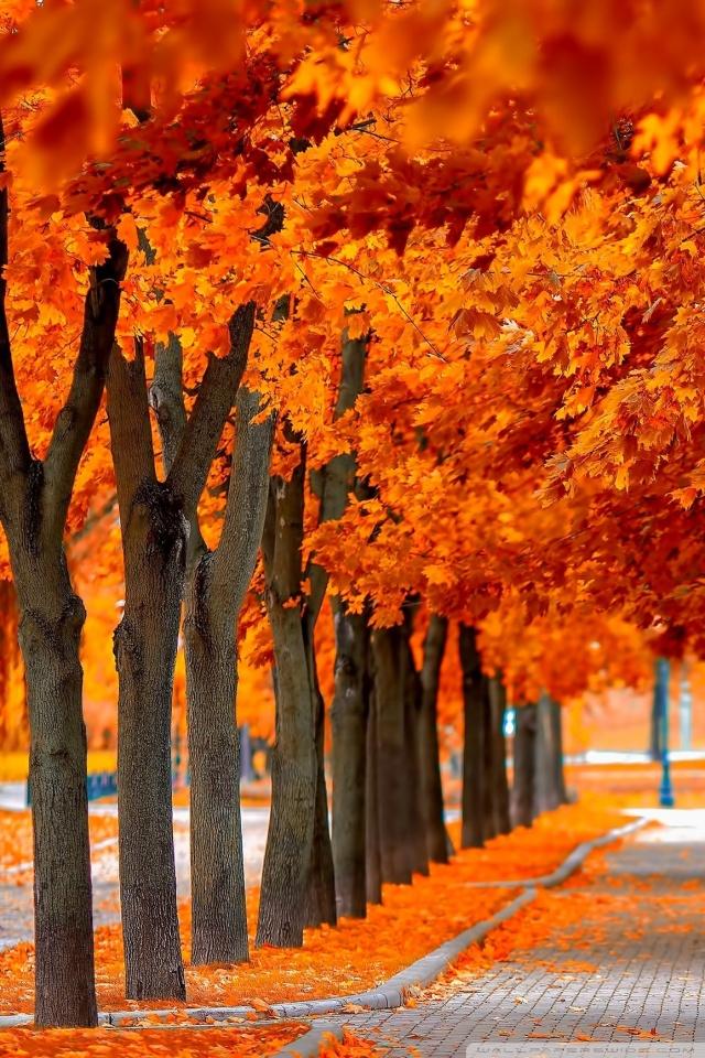 Falling Leaves Wallpaper Free Download Orange Trees Fall 4k Hd Desktop Wallpaper For 4k Ultra Hd